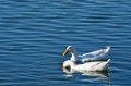 White geese swimming in pond keene texas Stock Photo