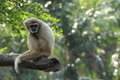 White gibbon on a timber Stock Photos