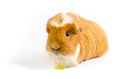 White and Ginger Guinea Pig Wtih Lettuce Royalty Free Stock Photo