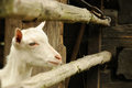 White goat closeup of behind a wooden barrier in a farm Royalty Free Stock Photo