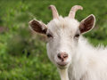 White goat closeup with horns and a beard Royalty Free Stock Photography