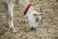 White goat eating dry yellow grass Stock Image