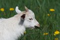 White goat eating leaves on a green meadow Stock Photo