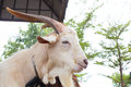 White goat farm in thailand Royalty Free Stock Photography