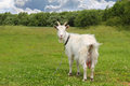 White goat grazing on the meadow in sunny day Royalty Free Stock Photo