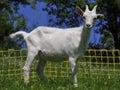 White Goat kid Stock Images