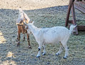 White goat kids playing, goatling, outdoor Royalty Free Stock Photo