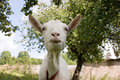 White goat looking at camera Royalty Free Stock Photo