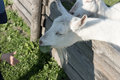 White goat looks over the fence Royalty Free Stock Photo