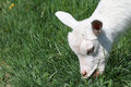 White goat nibbling grass in the pasture Stock Image