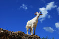 White goat over blue sky Royalty Free Stock Photo