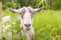 White goat portrait farm animal green field on background Stock Images