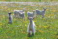 White goats frolic in a field of dandelions Stock Image