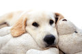 White golden retriever puppy cute laying down with his teddy with isolated background Royalty Free Stock Photos