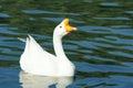 White goose Royalty Free Stock Photo