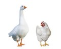 White goose chicken isolated illustration white background Royalty Free Stock Images
