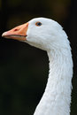White goose close up of a on dark background Royalty Free Stock Photo