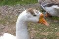 White goose  head  portrait Royalty Free Stock Photo
