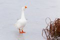 White Goose on Ice Stock Photo