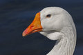 White goose portrait with the birds eyes a perfect match to the watery background Royalty Free Stock Photography