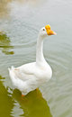 White goose on the water in the farm Stock Photos