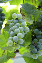 White grape bunch ready for harvest a Royalty Free Stock Photos