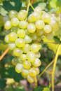 White grape closeup of ripe juicy hanging on vine Royalty Free Stock Photo
