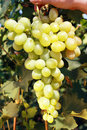 White grape closeup of ripe juicy hanging on vine Royalty Free Stock Photos