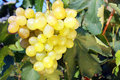 White grape closeup of ripe juicy hanging on vine Royalty Free Stock Images