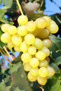 White grape closeup of ripe juicy hanging on vine Stock Photography