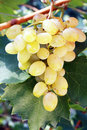 White grape closeup of ripe juicy hanging on vine Stock Image