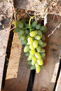 White grape closeup of ripe juicy hanging on vine Stock Images