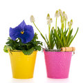 White grape hyacinths and blue pansy flower pot with Royalty Free Stock Photo