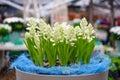 White Grape Hyacinths In Keuke...