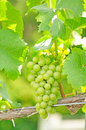White grapes Stock Photos