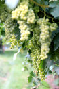 White grapes in the province of Trento, Italy Royalty Free Stock Photography