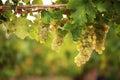 White grapes on vine Royalty Free Stock Photo