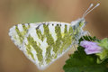 White green butterfly high quility cabbage resting on a flower in the morning Royalty Free Stock Photo