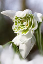 White green snowdrop flower galanthus spring close up of a belonging to the amaryllidaceae family Royalty Free Stock Images