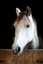 White and grey horse head in the stable Royalty Free Stock Photography