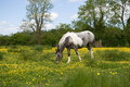 White  and grey horse in a medow with buttercups Royalty Free Stock Photos