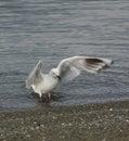 White Gull Walking In Stone Be...