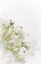 White Gypsophila flower Stock Image