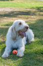 White haired dog panting in the shade Royalty Free Stock Photo
