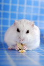 White hamster eating pumpkin seed Royalty Free Stock Photo