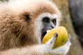 The white hand gibbon eats wild mangosteen at kang krajan national part in petchaburi thailand Royalty Free Stock Photos