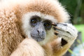 The white hand gibbon in the forest at kang krajan national part petchaburi thailand Royalty Free Stock Image