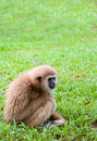 The white hand gibbon sit on the grass at kang krajan national part in petchaburi thailand Royalty Free Stock Photography