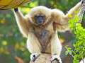 White-Handed Gibbon Ape Royalty Free Stock Photo