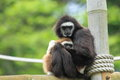 White handed gibbon the with her offspring Stock Images